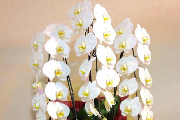 胡蝶蘭・観葉植物・花鉢
